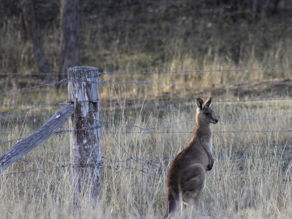 Thank you to reader Elle Thompson for sending in this beautiful photo of a cheeky local kangaroo.