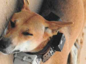 Dingo debate: Viral petition reignites collar calls