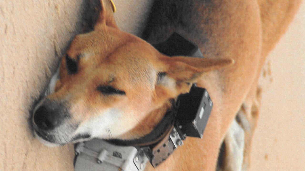 A Fraser Island dingo with a heavy collar around its neck.