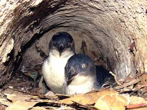 Two charged over attempted penguin, egg theft