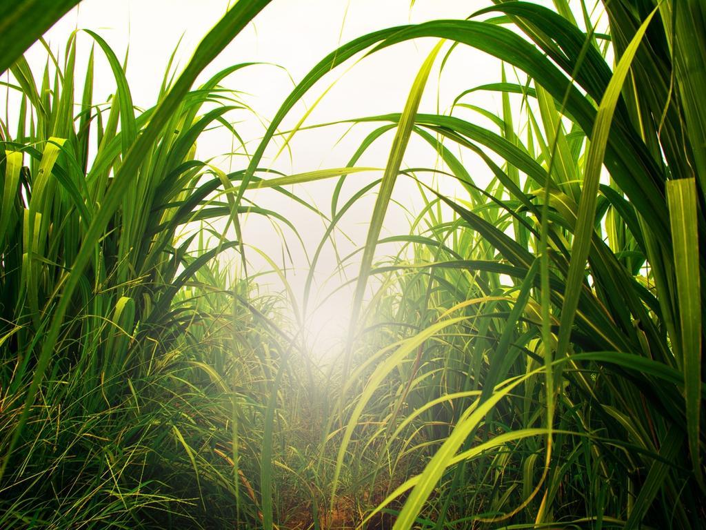 Sugar cane. Photo: File