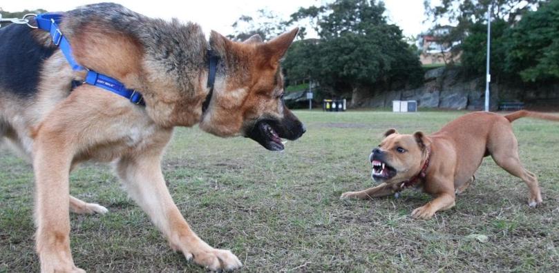 Un chien agressif inédit prêt à attaquer sous la direction d'un berger allemand dans un parc de Sydney.
