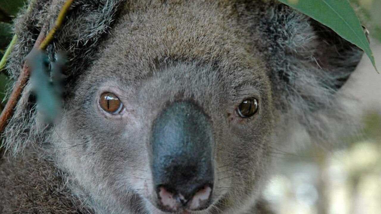 The conservation project is vital for helping Noosa's koalas survive through crucial tree plantings. PHOTO: Queensland Koala Crusaders.