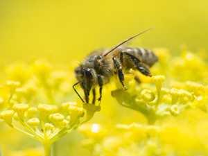 Swarm of bees sting man at Sarina Beach