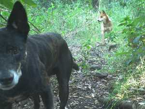 $250 vouchers up for grabs for information on wild dogs