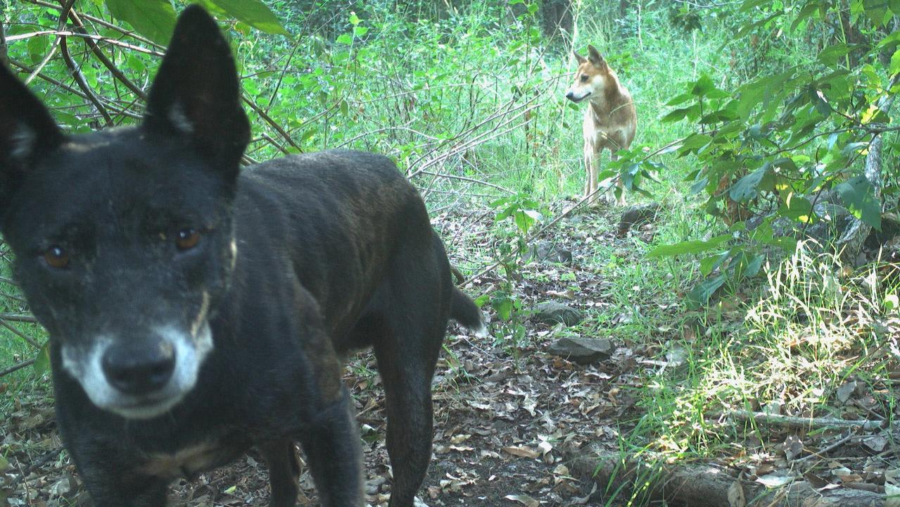 North Coast Local Land Services is starting a new program to gather details about wild dogs.