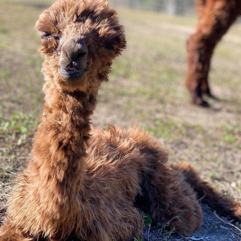 BABY BOY: Littabella Alpacas welcomed new arrival to the family Prince Alby.