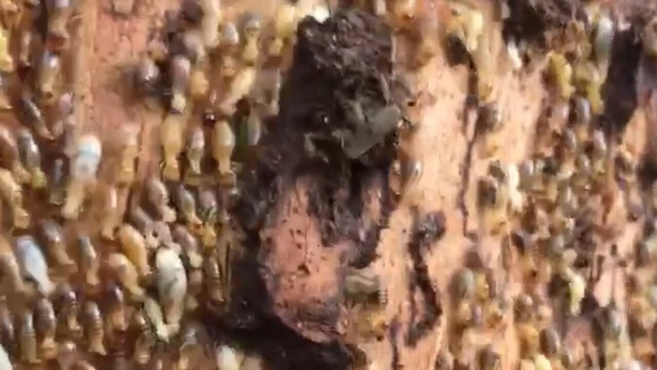 A screenshot from a video shows a huge termite infestation found in a Burleigh Heads home. Picture: Pegasus Environmental Pest Control & Termite Management