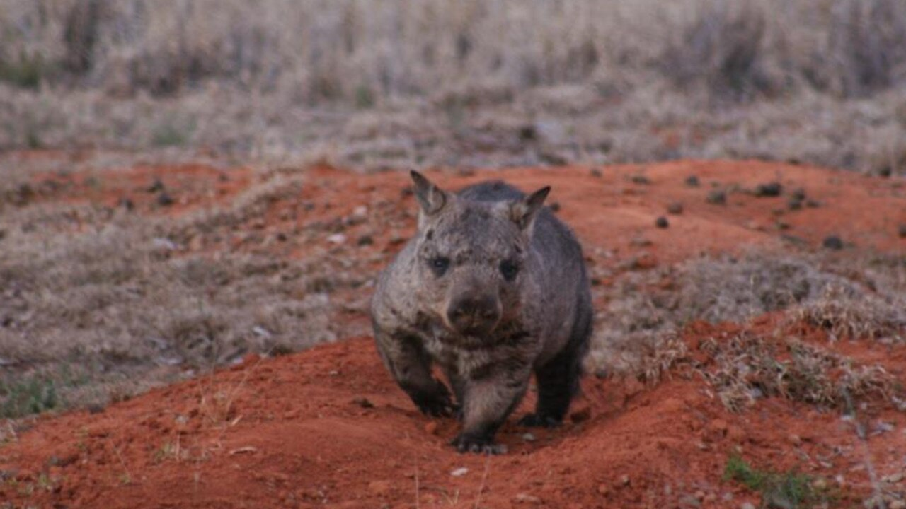 Can you help save the Northern hairy nosed wombat?