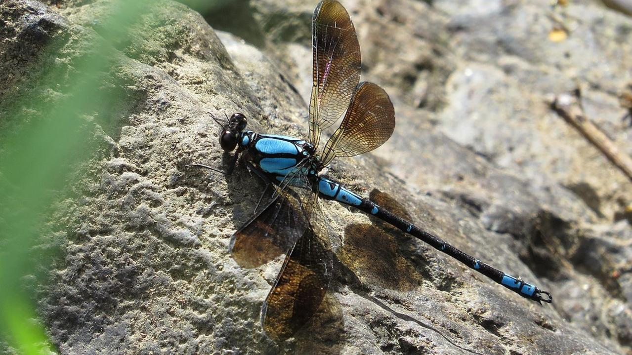 The sapphire rockmaster broad-winged damselfly or Diphlebia coerulescens is found in the Eungella Rainforest. Picture: John Tann.