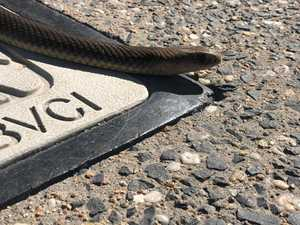 Photos: Dangerous snake caught sneaking in Qld city