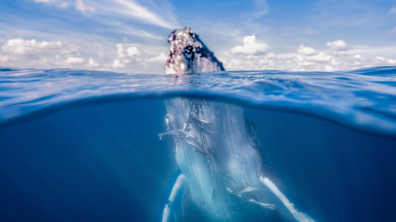 Getting up close to humpbacks on a swim with the whales tour. Picture: Tourism and Events QLD