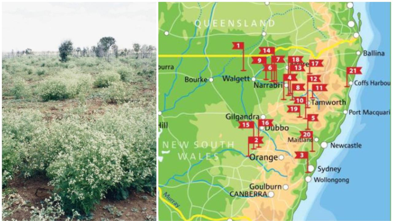 Efforts are underway to prevent the spread of parthenium weed in Coffs. The local outbreak is the 21st discovered in NSW since April this year alone.
