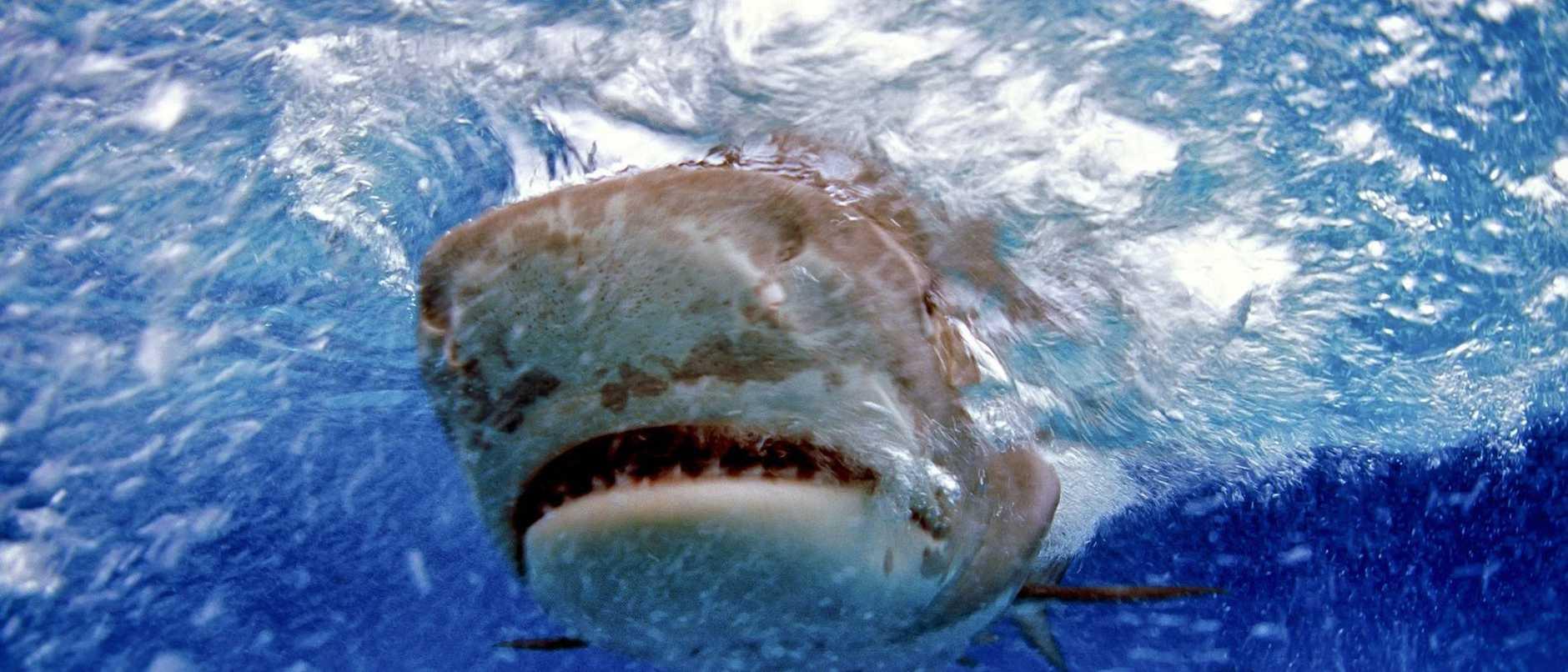 Tiger shark (Galeocerdo cuvier), Bahamas