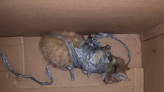 Firecrackers taped to dumped kitten