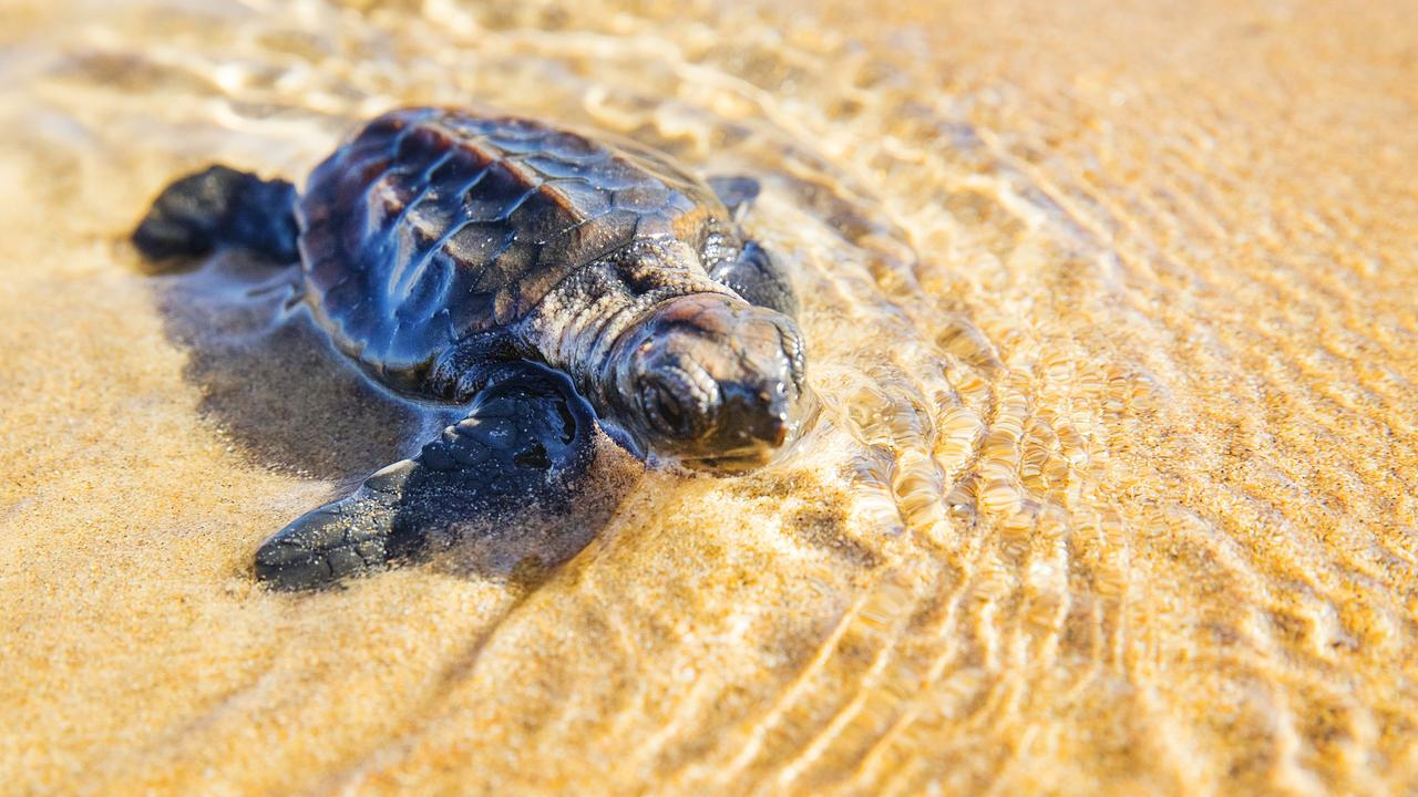 A Turtle Hatchling makes a break for the ocean after climbing free from their nest in the dunes on Mon Repos near Bundaberg. Photo Lachie Millard