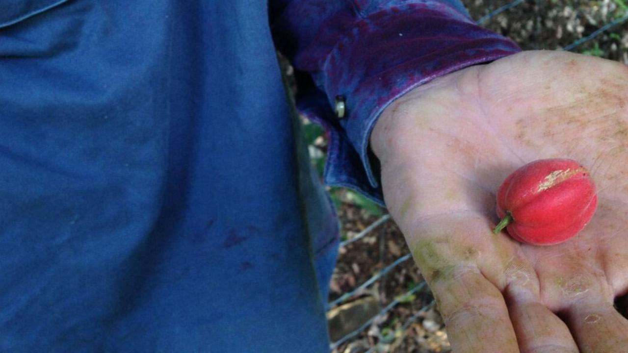 Coastal Fontainea fruit – tree 401 translocation site October 2015.