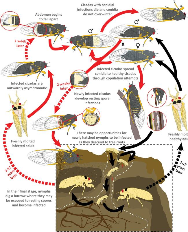 The life cycle of a zombie cicada. Picture: West Virginia University