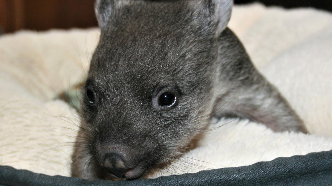 "Dog owners have been put on notice after the ""horrific"" death of two rescued wombats this week and a spike in attacks."