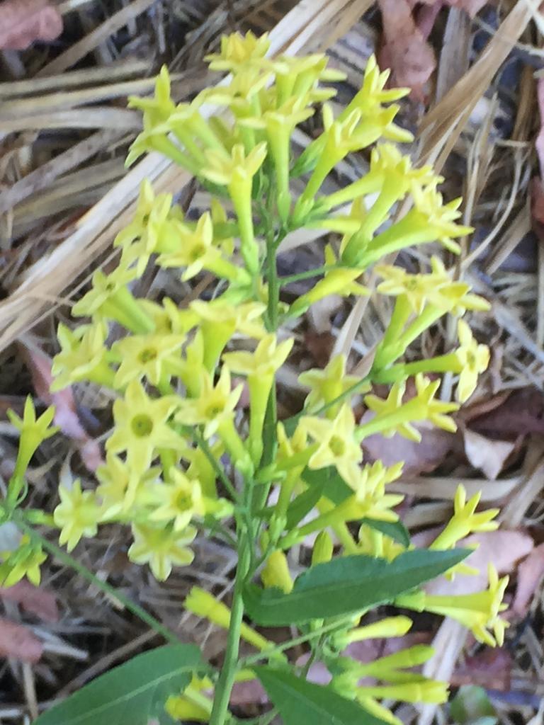 Cestrum nocturnum is flowering in Simpson Street.