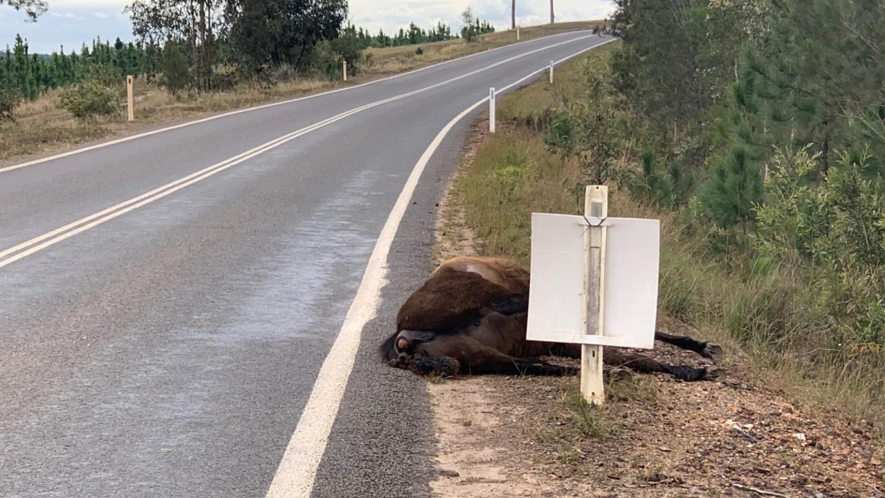 A dead brumby on the side of the road at Poona.