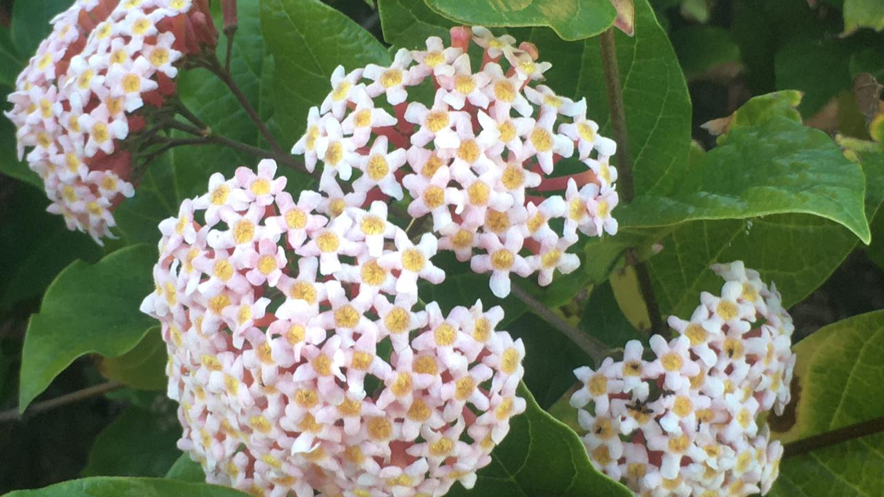 Rodeletia amoena produces large trusses of scented pink flowers. Picture: Contributed