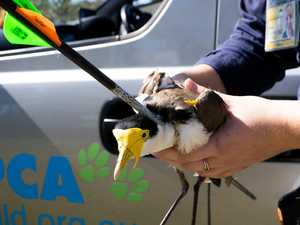Dead bird walking: Sickening arrow attack on plover