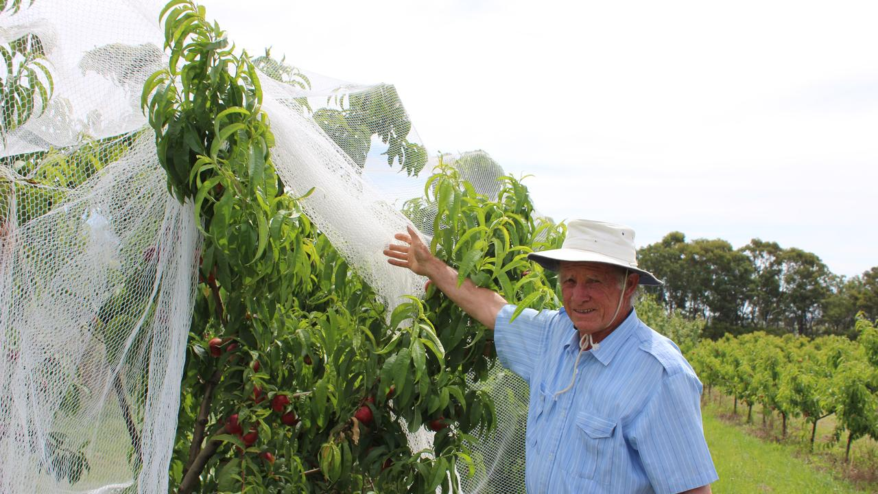 Graeme Jenkins shows the netting which has been required to keep out the pests this year on his fruit farm.