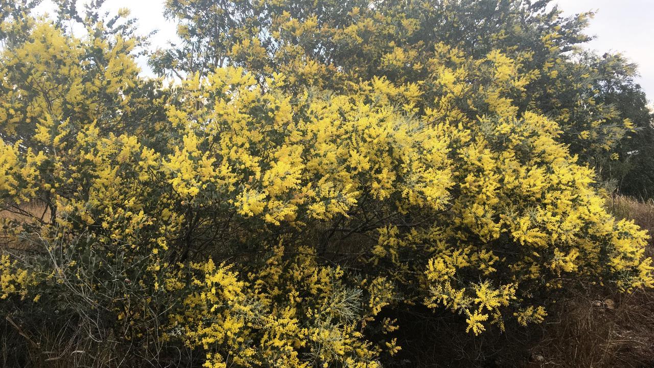 Acacia podlayriifolia is flowering in Rockonia Road.