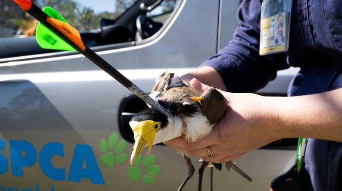 Dead bird walking: Sickening arrow attack on plover