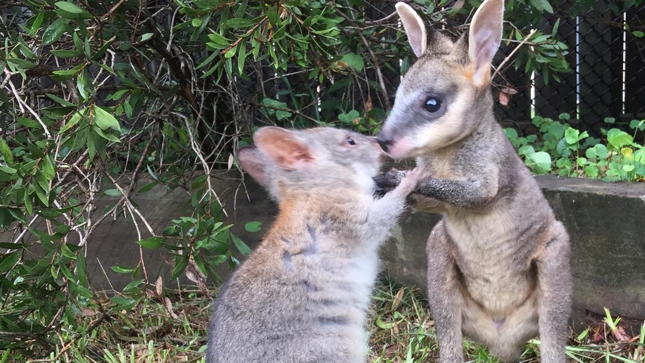FILE: WILVOS animals Kali pademelon and Arnie swampy. Picture: Supplied