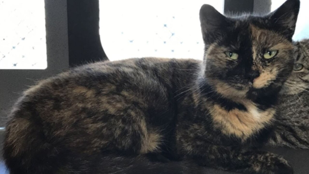 Marlene the domestic short-hair is available for adoption through the RSPCA in Toowoomba.