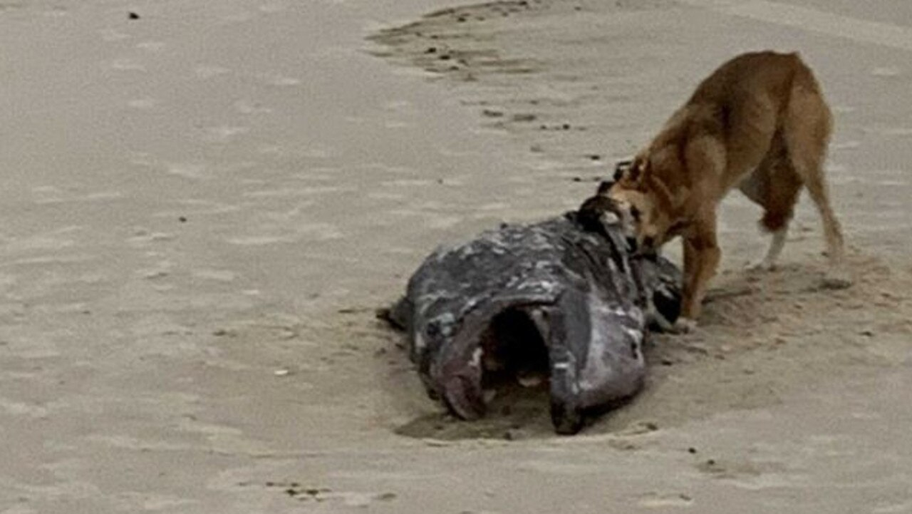 The dingo known as Yellow Tag feasting on a grouper on Fraser Island.