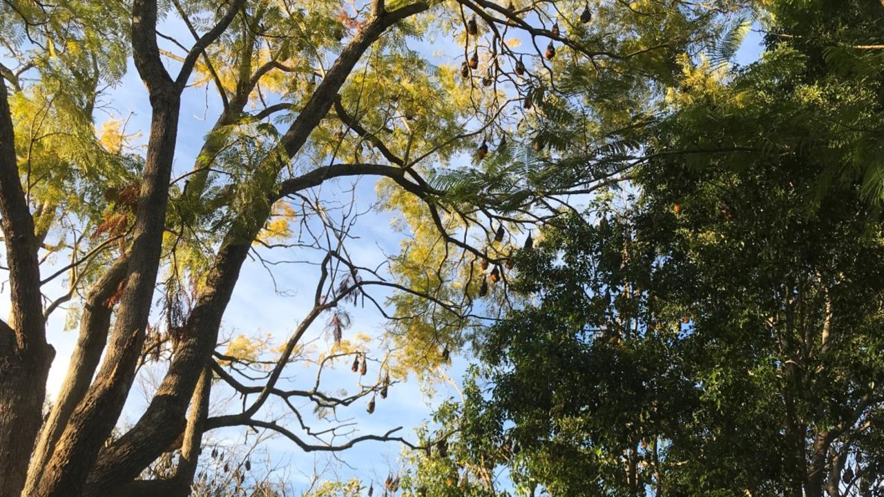 Thousands of flying foxes can be seen in tress around the neighbourhood. Picture: contributed