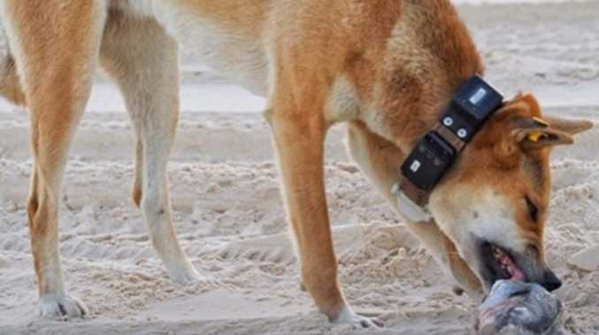 Calls to remove tracking collar from pregnant dingo