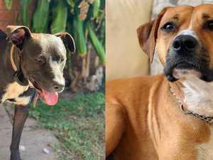 MISSING: Family's $3000 reward for safe return of loved dogs
