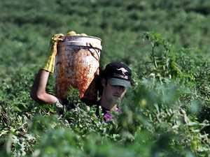 Pandemic prompts change in Bowen's picker workforce
