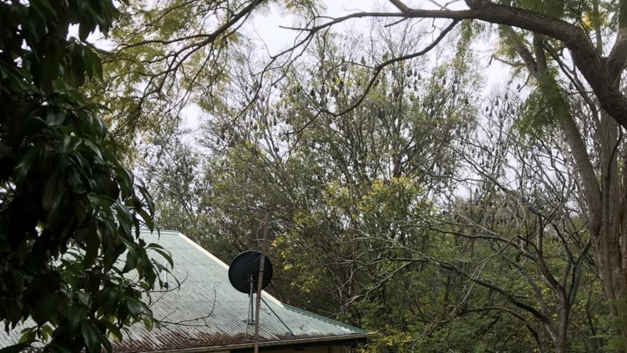 The resident said the bats will take up residence in all but one species of tree in the area, and she said the roost is continuing to grow. Picture: Supplied