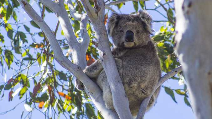 Coffs koala park proposal gets government support