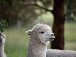 Alpacas could help in fight against COVID-19