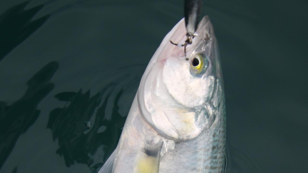 Australian salmon are incredibly rare, but one Iluka angler reeled one in last week.