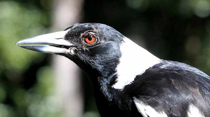 SWOOPING SEASON: Clarence magpie hot spots