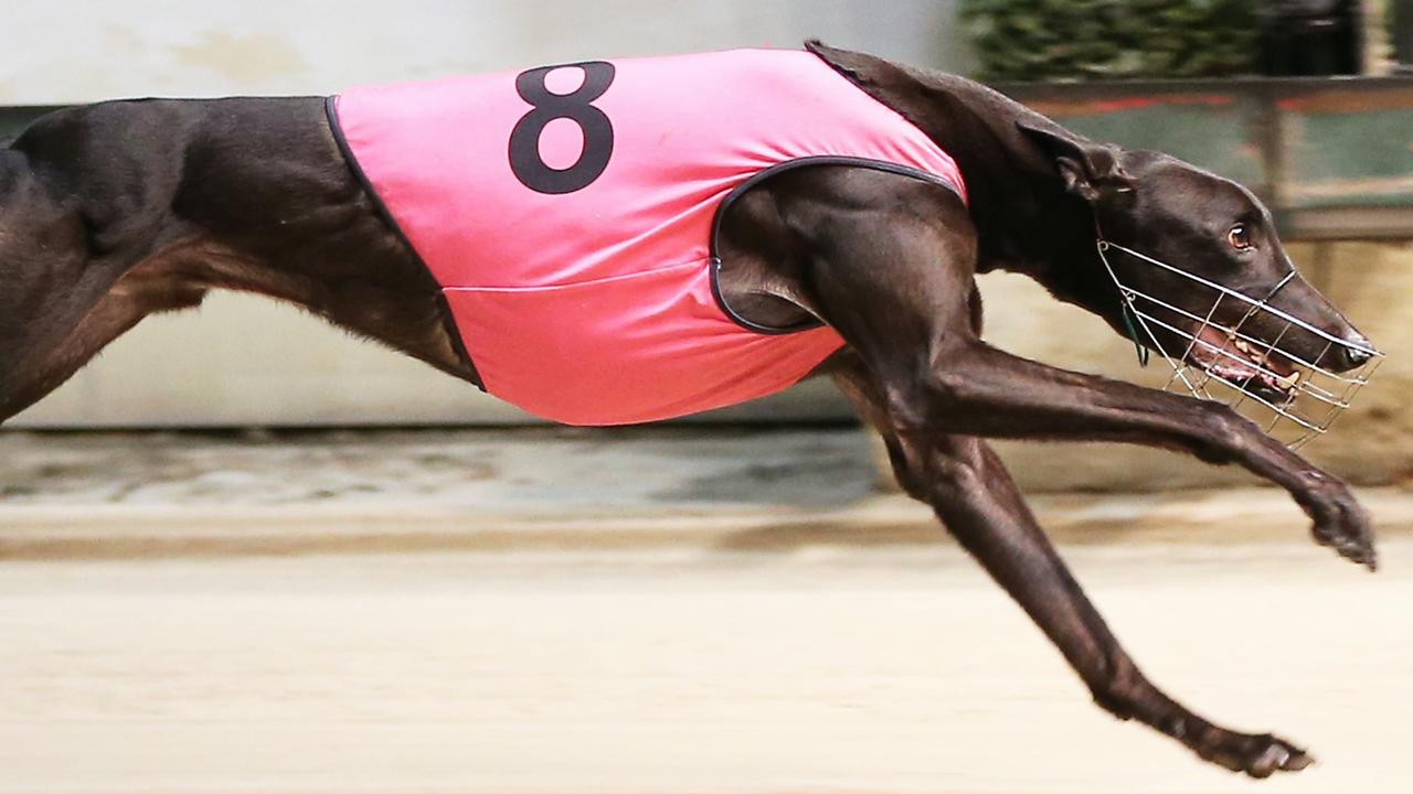 Greyhound Kravitz in full flight. Picture: justgreyhoundphotos.com.au