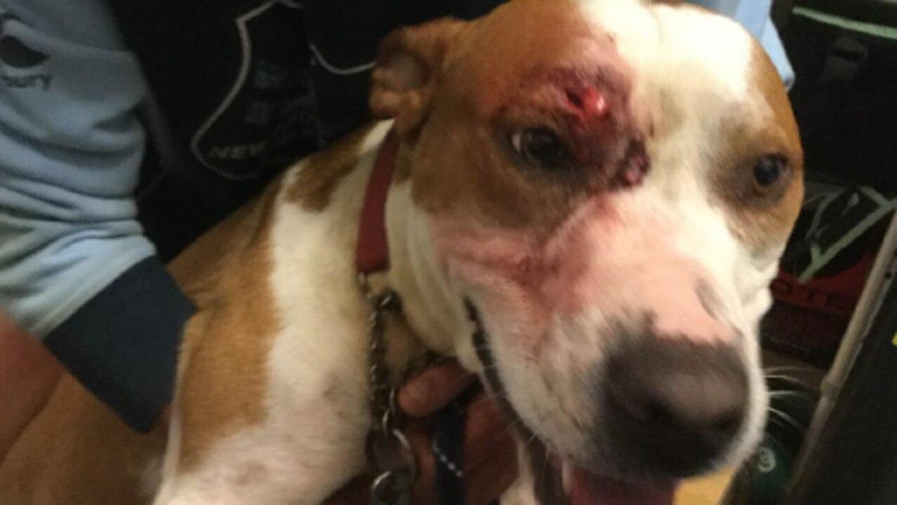 The dog allegedly received cuts above the eye after being hit in the head with a cement block. PICTURE: SUPPLIED