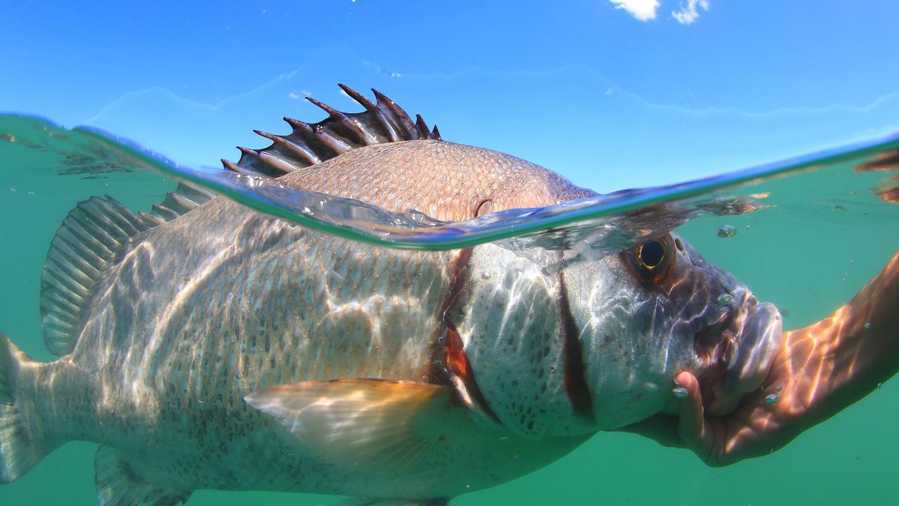 FISHING GRANTS: A brown sweetlip in the net free zone off Mackay.