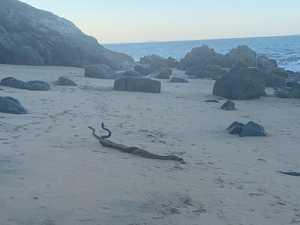 WATCH: Snakes battle it out on Blacks Beach