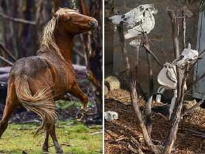 Brumby count backflip after eerie skull photos emerge
