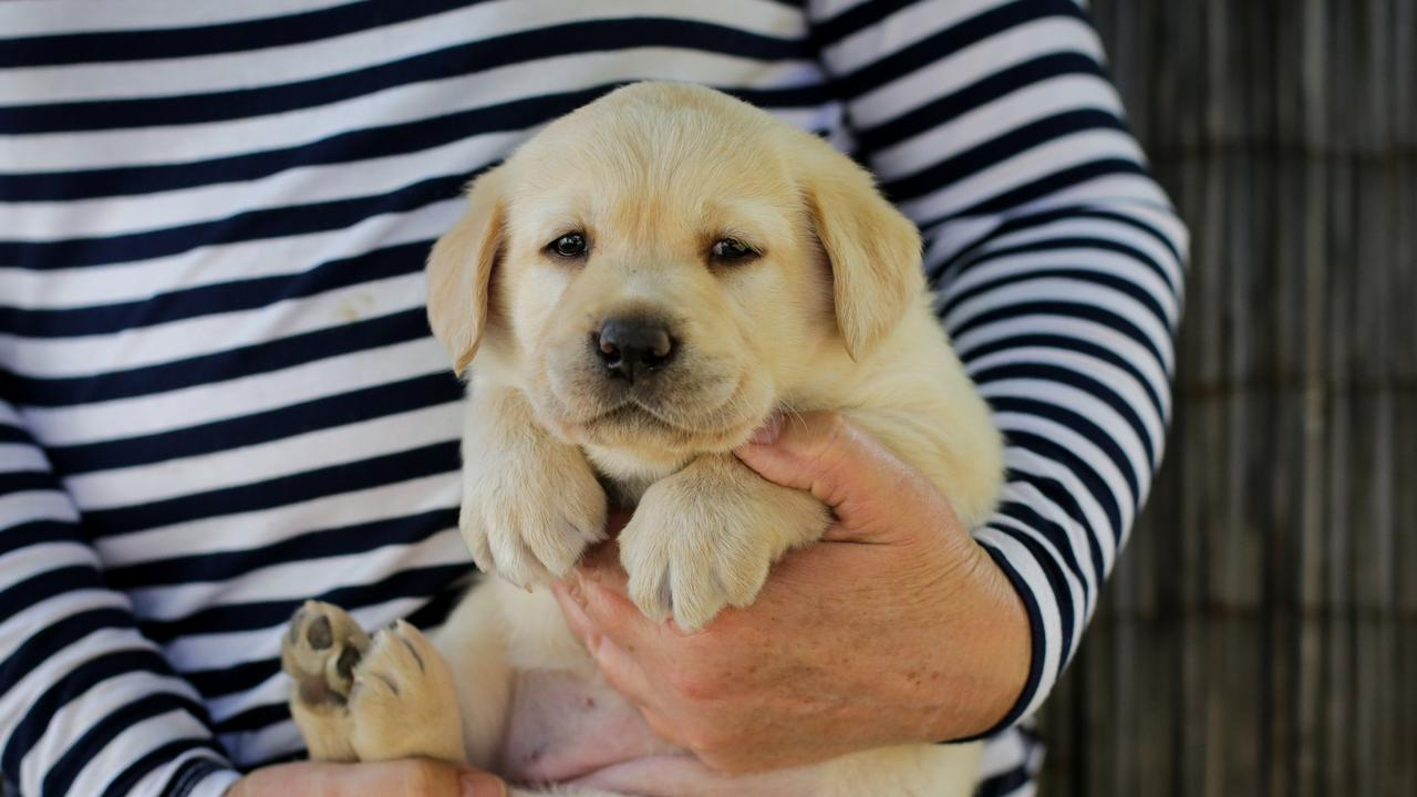 Five week old labrador pup Ayra. Picture: Liam Driver