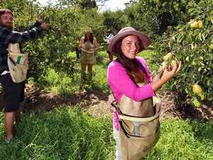 Farm worker shortfall threatens CQ's agricultural industry