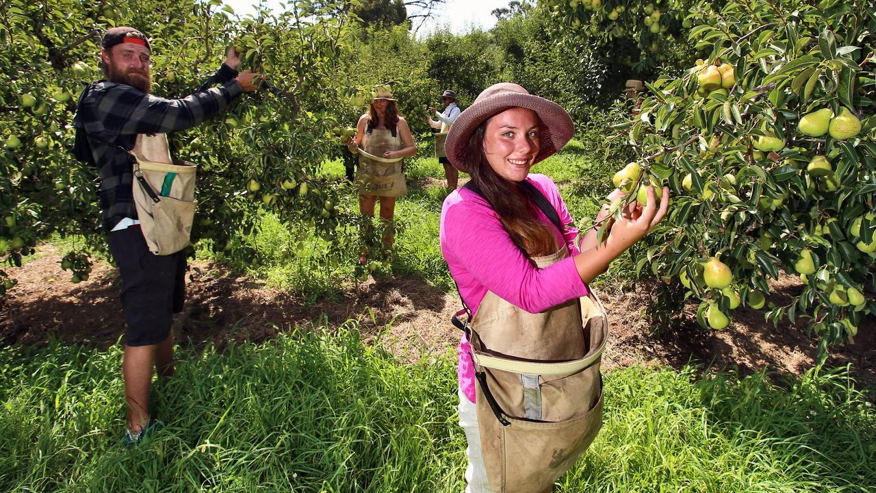 HELP NEEDED: Without the help of fruit picking English tourists like Tammy Pedrick (front right) with Danny Smith (left) there are concerns about the future. Aaron Francis/The Australian
